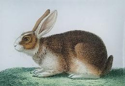 Bottom Rabbit A-117