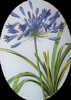 Purple Blue Agapantha FL-297