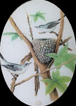Gnat Catcher Nest O-151
