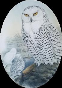 3 Snowy Owls O-187