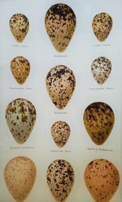Egg Study Plate #44 E-15