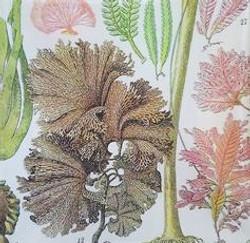 Seaweed Study #27 S-112
