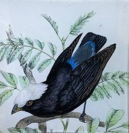 Black Bird with White Head O-157