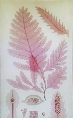 Pink Seaweed #1 S-2