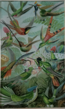 Many Hummingbirds   O-79