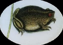 Fat Green Frog R-15