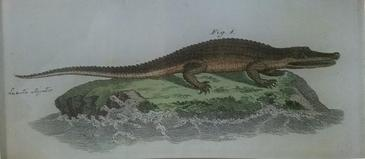 Alligator  R-36