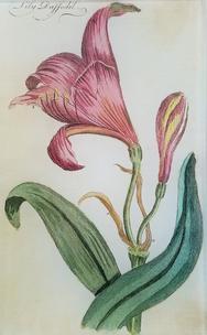 Lily Daffodil FL-280