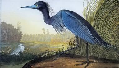 AU Blue Heron O-58