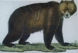 Common Brown Bear A-503