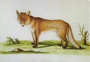 Red Fox Facing Left A-450