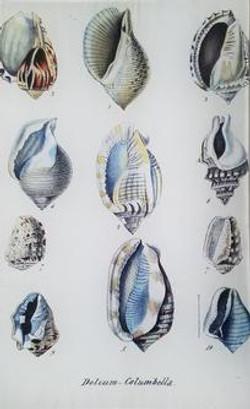 Seashell Study S-15