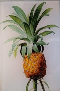 Pineapple  FL-566