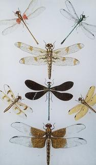 Dragonfly Study B-23