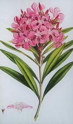 Pink Oleander FL-351