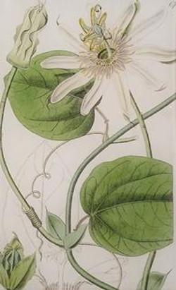 White Passion Flower 677 FL-583