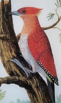 Redheaded Woodpecker O-68