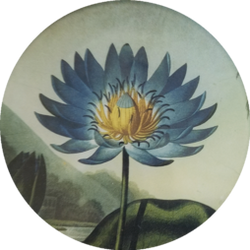 Blue Water Lilly with Yellow Center