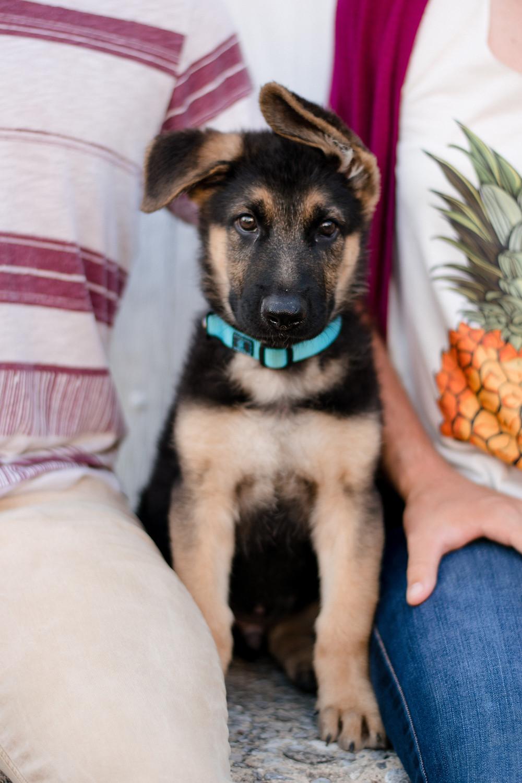 German Shepherd puppy, engagement session, rustic, fun, wedding photographer