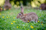 close-up-photography-of-brown-rabbit-148