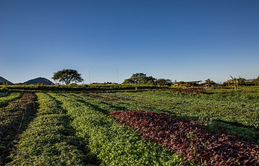 Kahumana Organi Farms and Cafe West Oahu Farm Tour Colorful Salad Fields