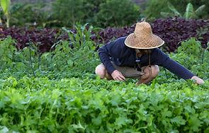 Image of a Farmer harvesting salad.