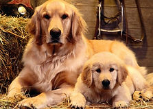 golden-retriever-27-500x375.jpg
