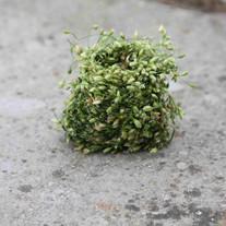 Coiled Stitchwort