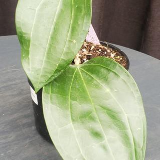 Hoya Latifolia.jpg