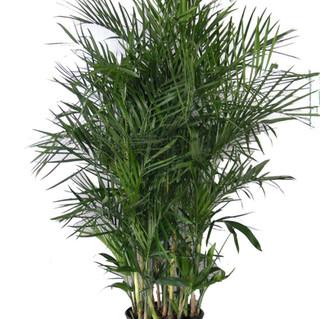 Chamaedorea Seifrizi - Bamboo Palm.jpg