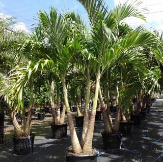 Adonidia - Christmas Palm.jpeg