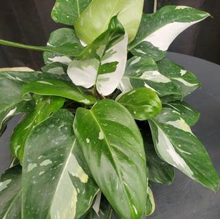 Philodendron White Princess.jpg