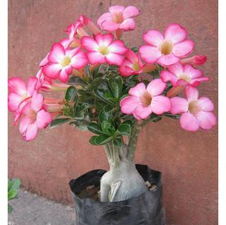 adenium-desert-rose-plant.jpg