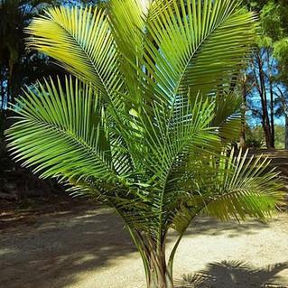 Majestic Palm.jpg