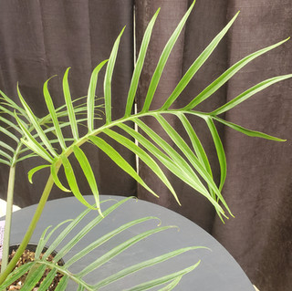 Philodendron Tortum.jpg