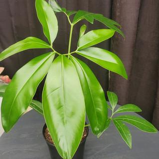 Philodendron Goldeii - Green WOnder.jpg