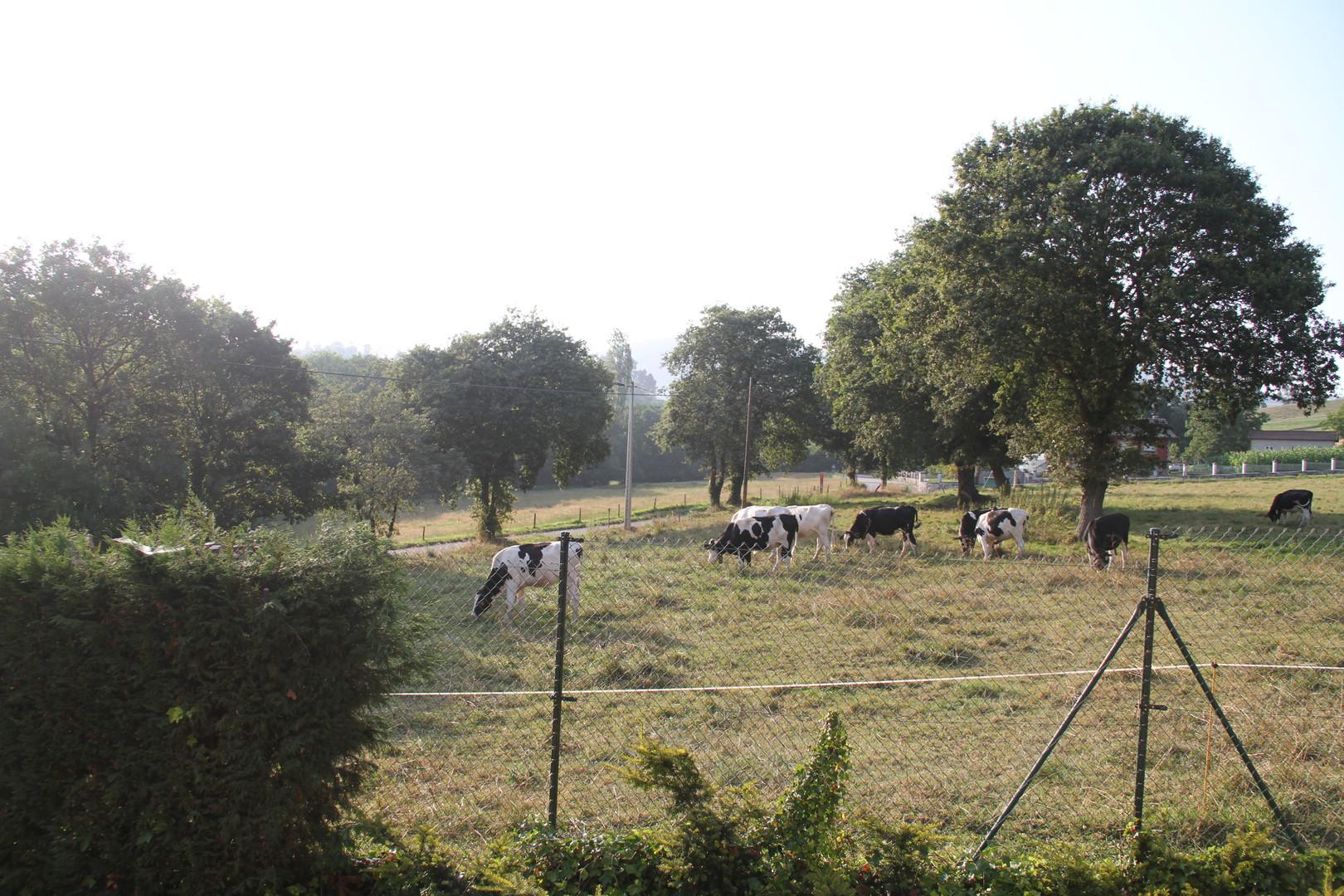 vistas de vacas