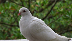 Two miracle dove stories