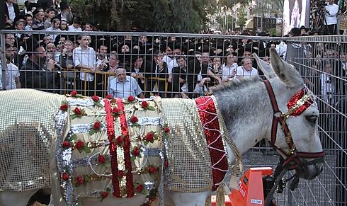 1000's observe rare Jewish mitzvah