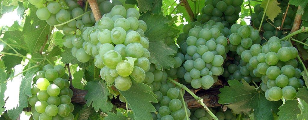 Vineyard harvests double crop