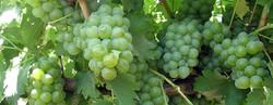Vineyard harvests double crop
