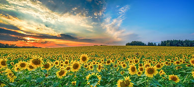 Sunflower Landscape.jpg