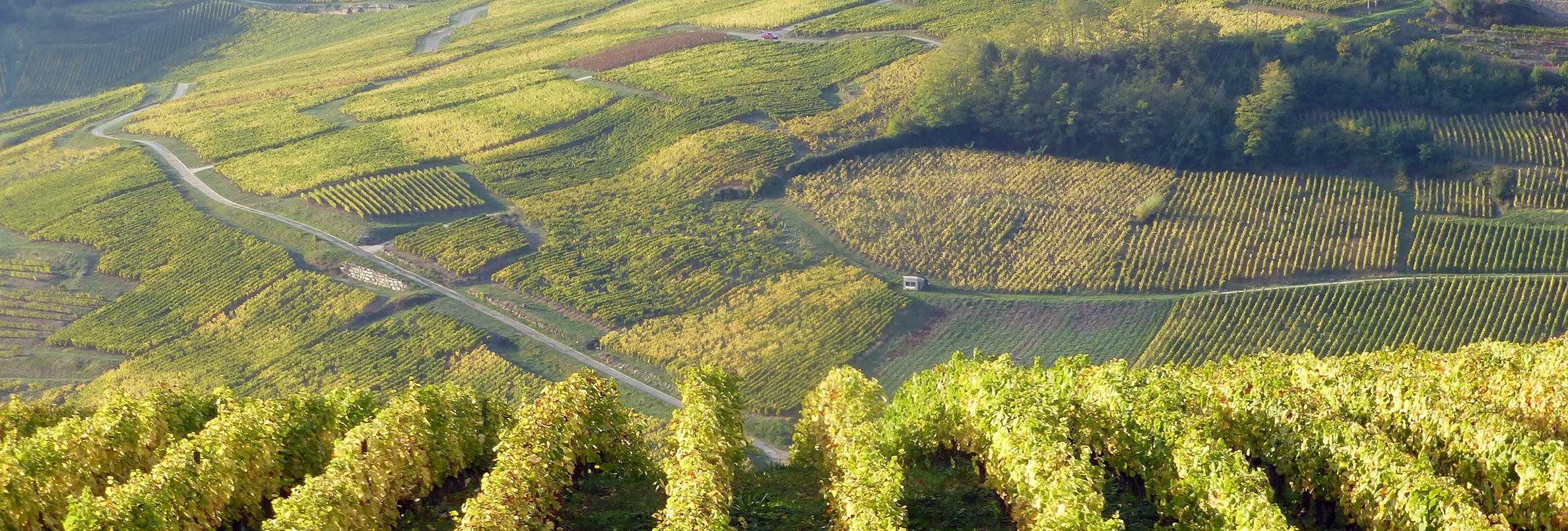 Le vignoble de Château-Chalon