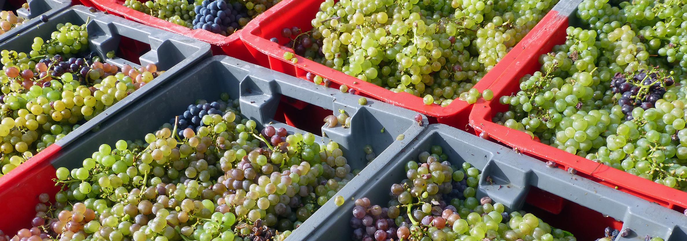 Vendange de la vigne conservatoire