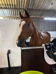 brown horse having treatments.jpg