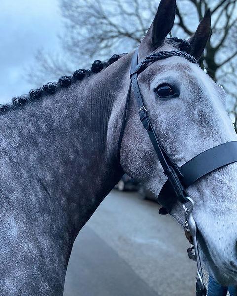 grey horse fresh from spa treatments.jpg
