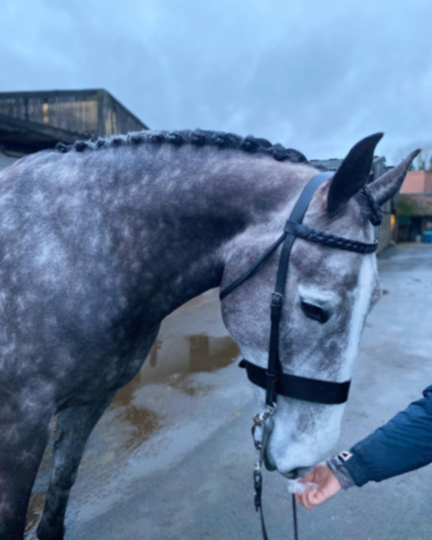 grey spotted horse wearing a bridle