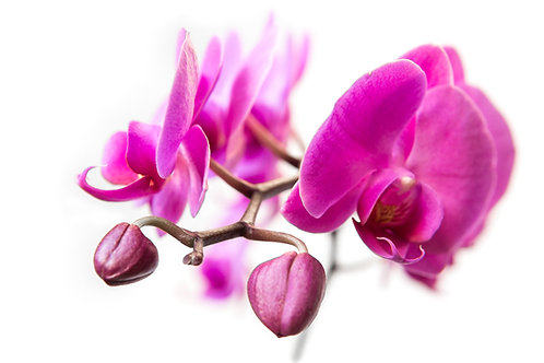 Prize Orchid
