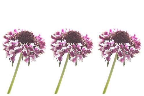 Purple Pops
