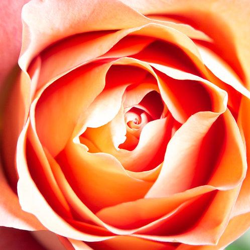 Rose Above